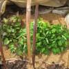 サツマイモ:苗に日光を当てる