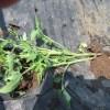 ミニトマト(2):自家製苗の植付け(寝かせ植え)