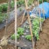 蔓ありインゲン(1):蔓をネットに誘引する