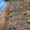 シソ(大葉):苗の植え付け