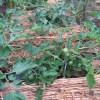 ミニトマト(1):畝に麦藁を敷き、1回目の追肥を施す