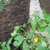 九重栗カボチャ:親蔓・小蔓の2本仕立ての露地栽培とする