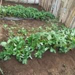 イチゴの育苗:親苗の植え付け