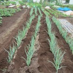 長ネギ:1回目の追肥・ 土寄せ