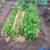 パセリ:収穫を始める