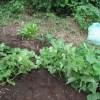 ハヤトウリ:蔓を空き地に誘引する