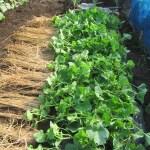 マクワウリ(1):防虫ネットを撤去し蔓を誘引する