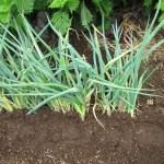 細ネギ:全てを収穫し空き地に貯蔵する