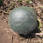 中玉スイカ:収穫を始める