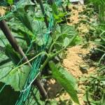 秋キュウリ:蔓を園芸ネットに誘引する