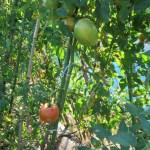 大玉トマト:6回目の追肥を施す
