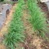 ニラ:5回目の収穫を始める