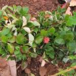 イチゴの育苗:2回目の苗採り