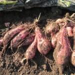 サツマイモ:安納イモの収穫を始める