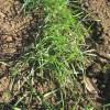緑肥用麦:1回目の麦踏み(1)
