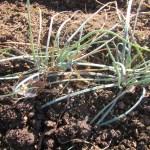 エシャレット:除草と1回目の追肥