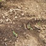 ホウレン草(3):再播種した種の発芽が始まる
