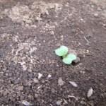 スティック大根:発芽が始まる