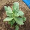 そら豆:苗のアブラムシ対策