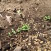 マリーゴールド:発芽が始まる