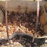 サトイモの育苗;種イモの芽出しを始める