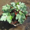 中玉スイカ:苗の植え付け