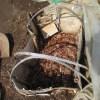 サトイモの育苗;種イモの芽出し床を雨に当てる