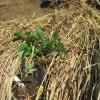 大玉トマト:苗の植付け(寝かせ植え)