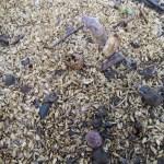 アスパラガス(1):出芽が始まる