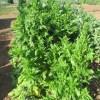 ホウレン草(4):とう立ちホウレン草の収穫法