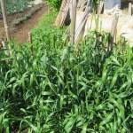 緑肥用麦:種麦の出穂