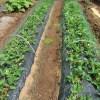 イチゴ:畝に防鳥ネットを張る