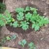 カボチャ・ゴーヤの育苗:ゴーヤ苗の移植