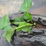 サツマイモ:1回目の苗の植付け
