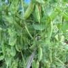スナップエンドウ:豆ごはん用エンドウの収穫