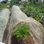 コンニャクイモ:防虫ネットトンネル栽培を始める