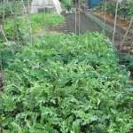 大玉スイカ:畝に園芸ネットを張り巡らす