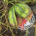 大玉スイカ:2個のスイカが腐る