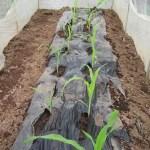 トウモロコシ(2):苗の植付け