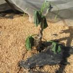 秋キュウリ:猛暑で苗が枯れる
