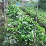 サツマイモ:伸びたベニハルカの蔓を柵の中に入れる