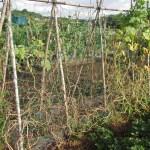 キュウリ:収穫を終える
