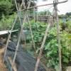 秋キュウリ:合掌式支柱を立てネットを張り巡らす