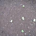 白菜:発芽が始まる
