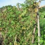 蔓ありインゲン(1):収穫を終える