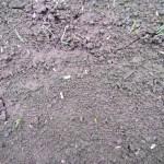 玉ネギの育苗:極早生・紫玉ネギの発芽が始まる
