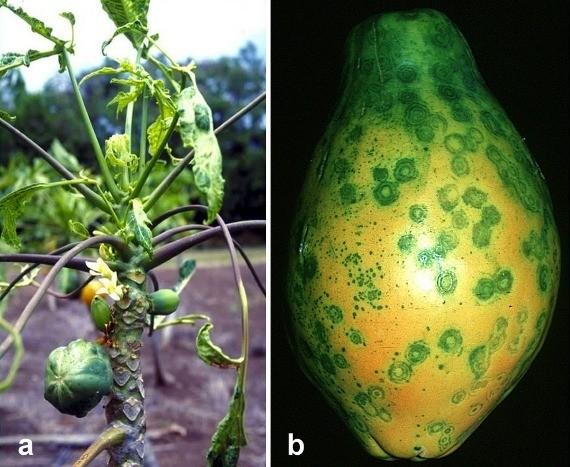 How GM papaya saved Hawaii's papaya industry