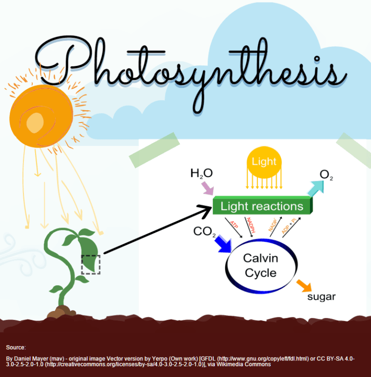 carbon dioxide converted to oxygen by plant