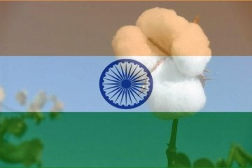 India's rural farmers have not suffered as a result of GM cotton, but rather benefited greatly