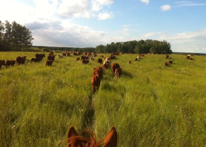 Cattle Welfare Before Consumer Concerns